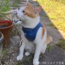 Tシャツリメイクで簡単!猫ハーネスの作り方~苦しくないからうれしいにゃん♡