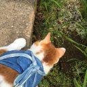 猫ハーネスをつけてのお散歩動画◆へびみーつけた
